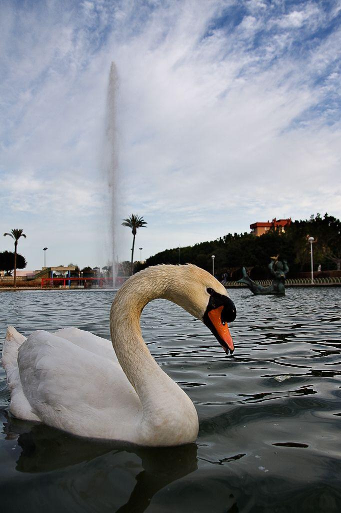 Cisne   /   Swan