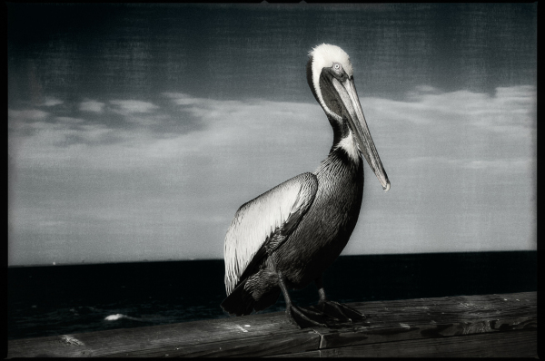 Pelican - Cocoa Beach 2013