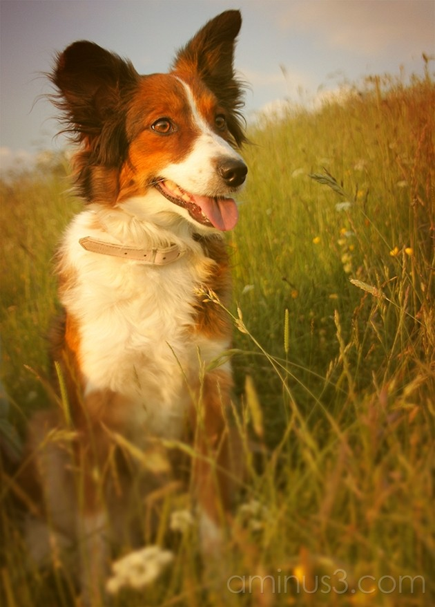 Amber dog