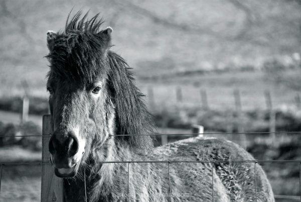 Scotland Horse