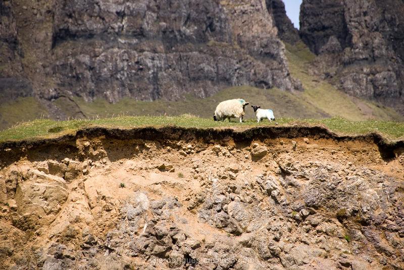 scotland isle of skye sheep