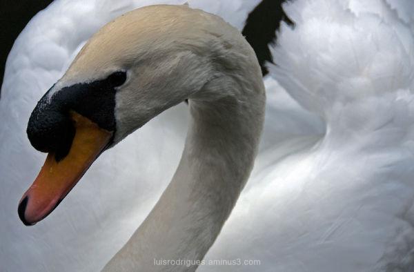 Swan Sintra