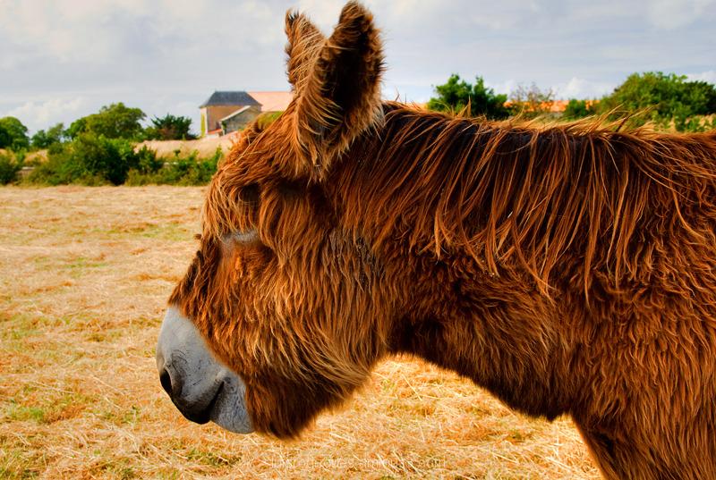 Île de Re Donkey France