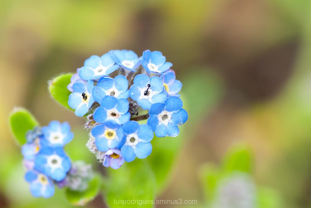 Faial Azores Botanic Garden Blue