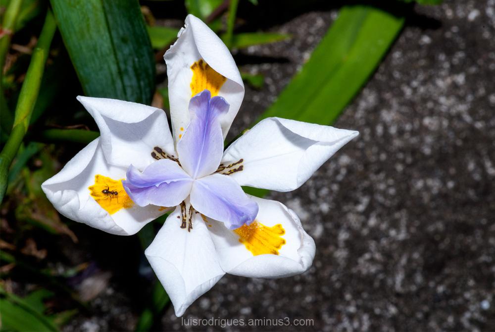 White Flower Azores