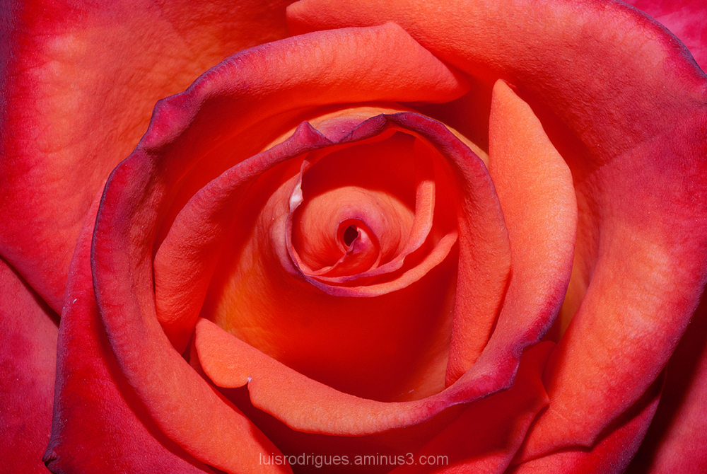 Rose Love Passion