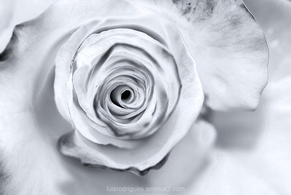 Rose Burn
