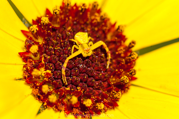 Mini Spyder Portugal Yellow