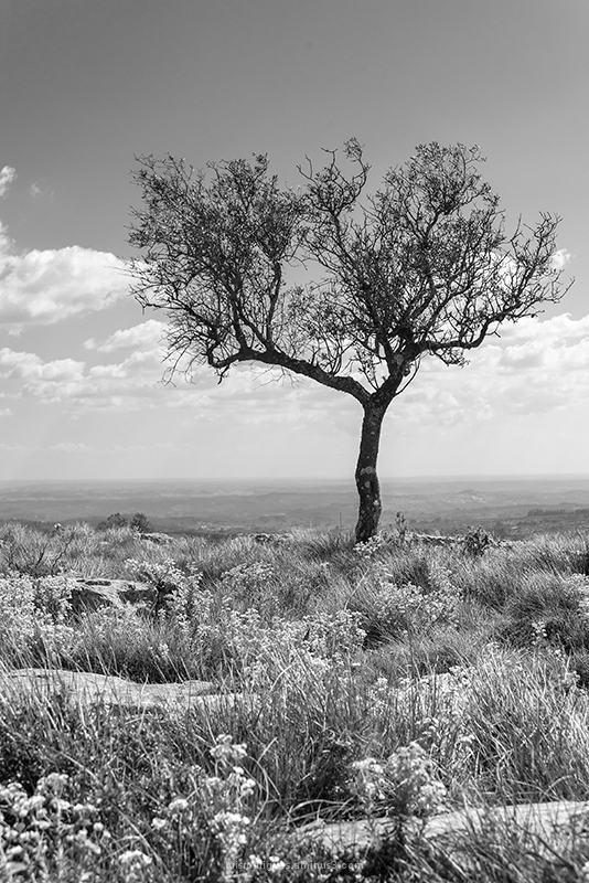 Alvados Portugal Tree