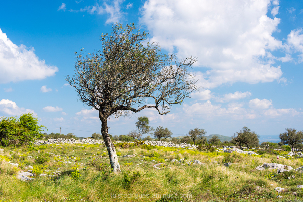 Alvados Portugal Tree