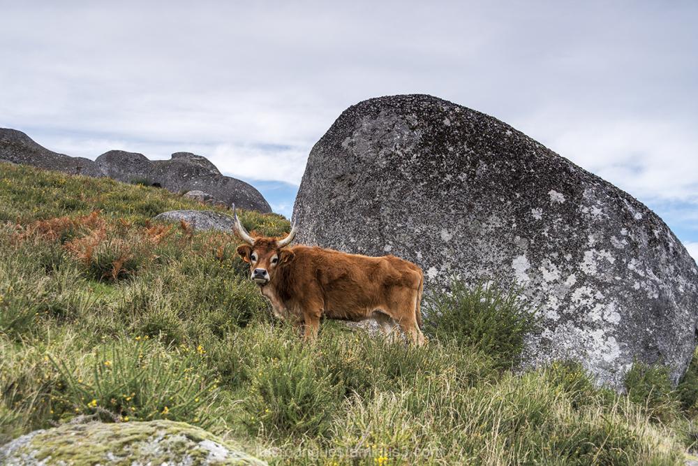 Gerês National Park Portugal Cows