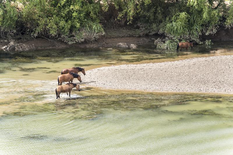 Mertola Horses