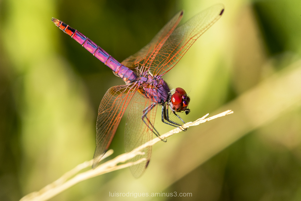 Dinner Time Dragonfly