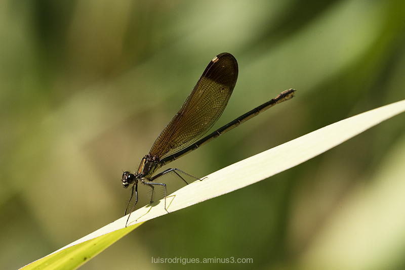 Almograve dragonfly