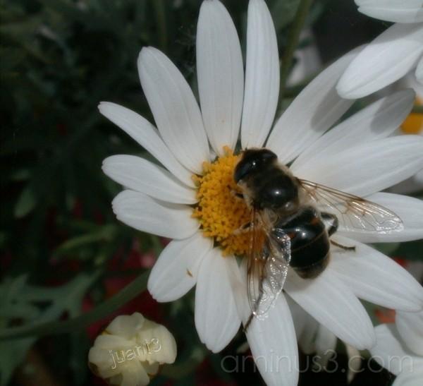 Bee in my garden...
