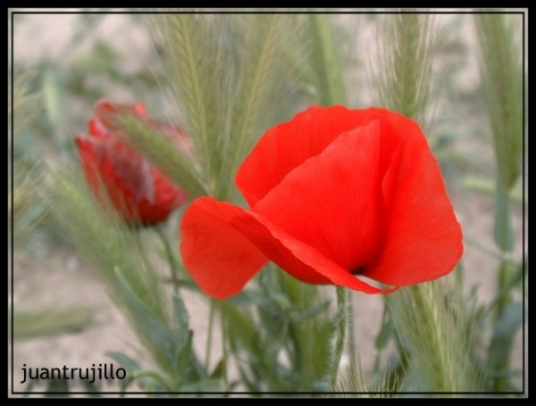 Poppy Seed (1 of 2)