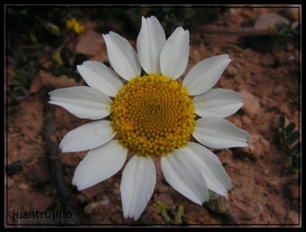 Wild Marguerite...