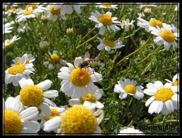 Bee on Marguerite...