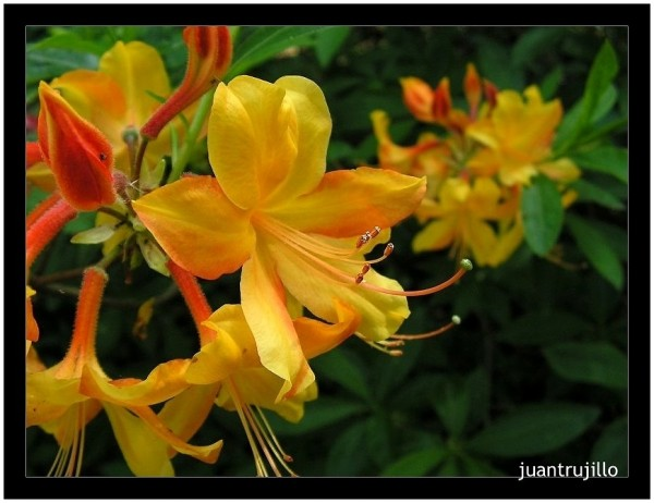 Yellow - Rhododendron Park, Bremen (I)