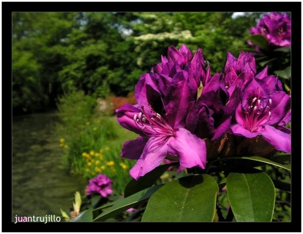Purple - Rhododendron Park, Bremen (V)