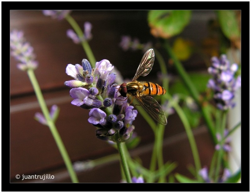 Schwebfliege (Hoverfly) On Lavender