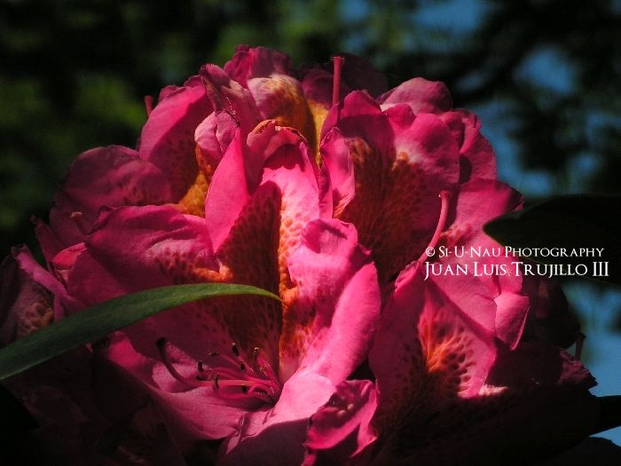 Rhododendron - III