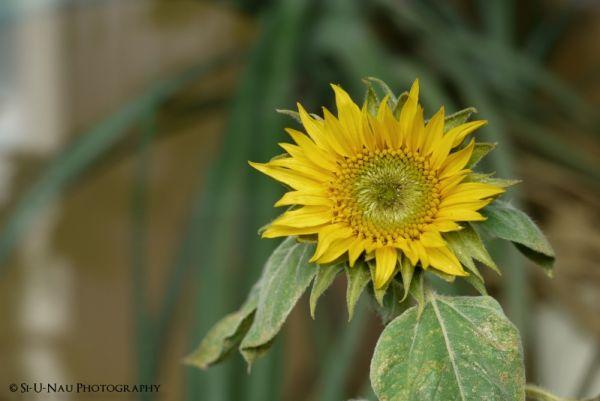 Sun Flower (II)