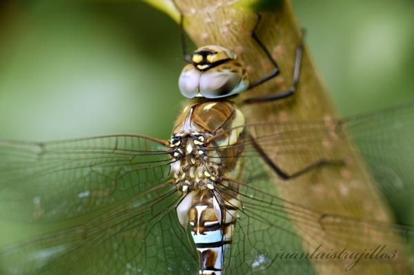 Flying Engine (Dragonfly)