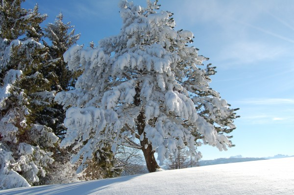 Tree covered with snow on a sunny day