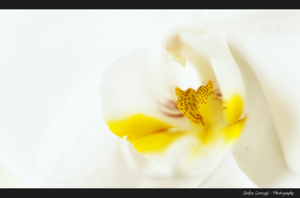 Orchid Macro II