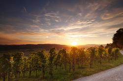 Vineyards in autumn I
