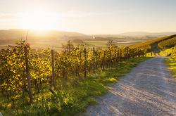 Vineyards in autumn IX