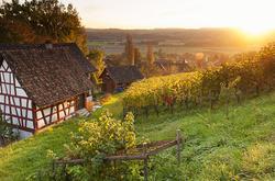 Vineyards in autumn XI