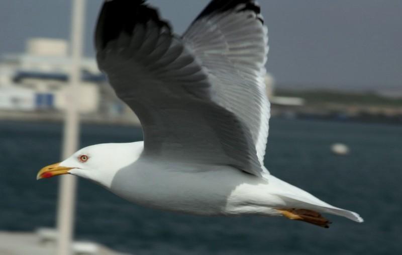 Seagull  I