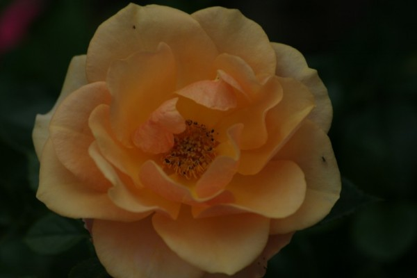 """"""" The Rose """""""