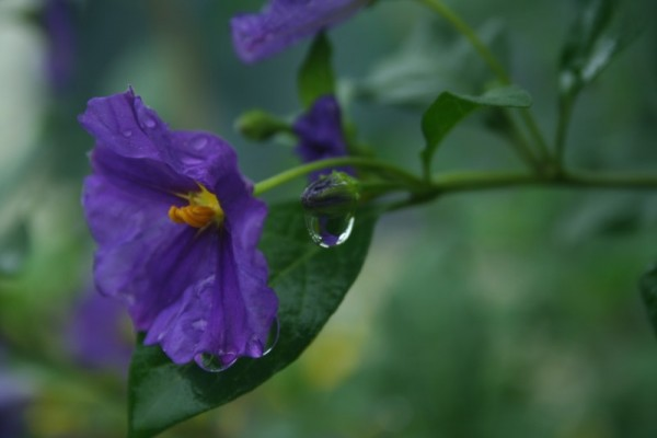 The flower with the drop