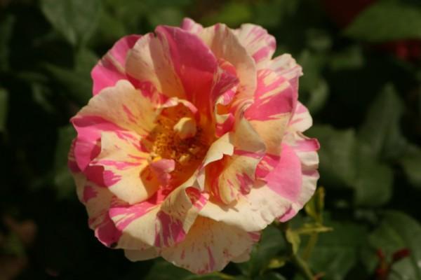 Flower of my garden I