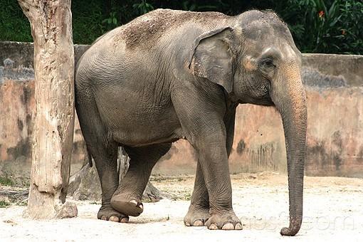 Elephant Scratching itself