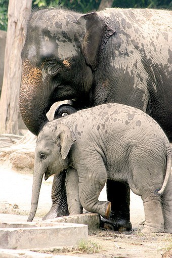 Elephant Parent and her baby