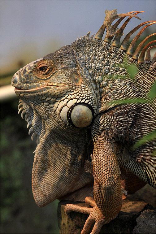 Mr.Tuatara Lizard, Howdy!