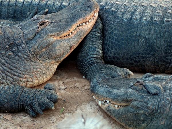 laughing Aligator