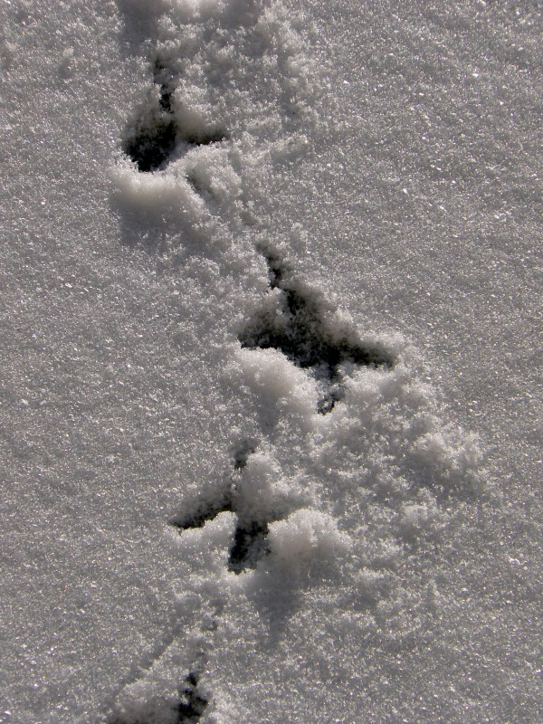 Pigeon tracks in snow.