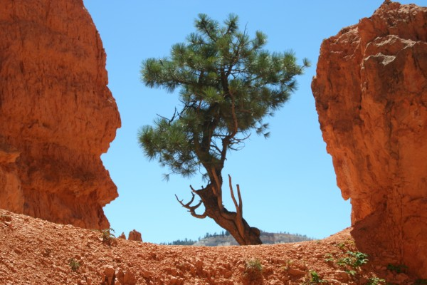 Lone tree in Bryce Canyon National Park