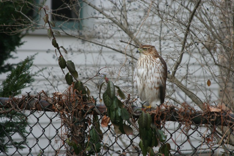 Backyard Cooper's Hawk