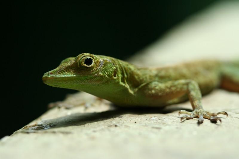 Lizard in El Yunque, Puerto Rico