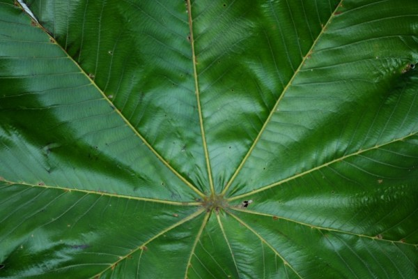 Leaf in El Yunque