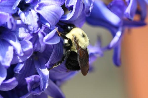Bumblebee and Hyacinth