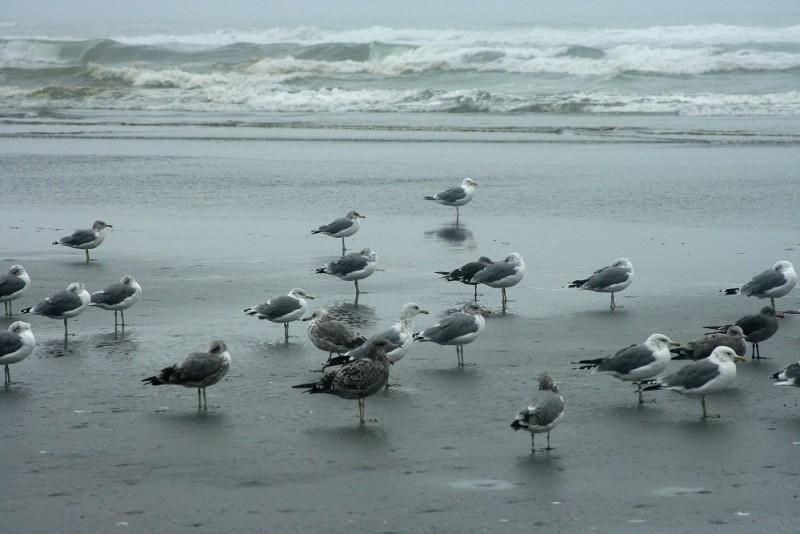 Gathering of Seagulls