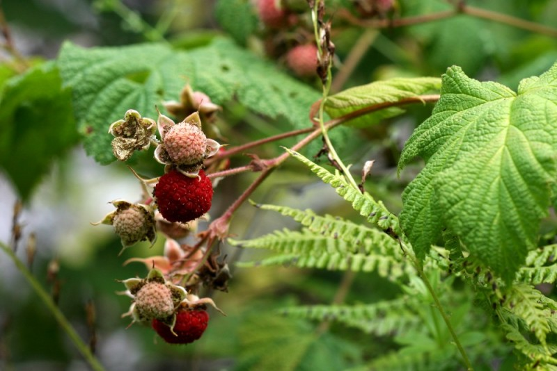 Wild thimbleberries