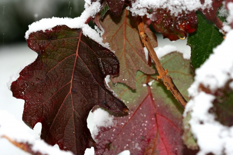 Snow on Hydrangea Leaves